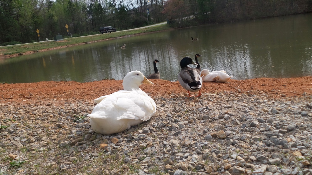 Ducks by the Pon Georgia