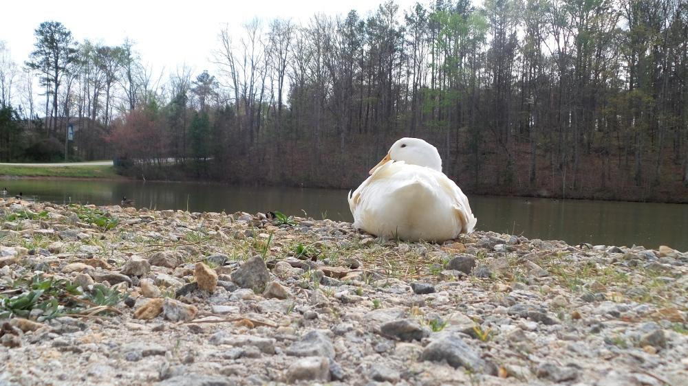 White Duck on Georgia Hiking Trail