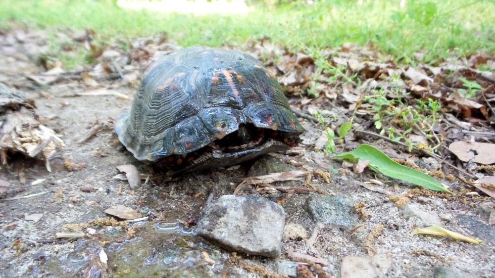 17 Jesters Creek Turtle